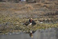 Nell'inverno, le anatre di mandarino sono nel lago Immagine Stock