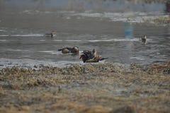 Nell'inverno, le anatre di mandarino sono nel lago Immagini Stock