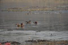 Nell'inverno, le anatre di mandarino sono nel lago Fotografia Stock Libera da Diritti
