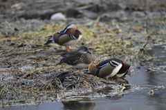 Nell'inverno, le anatre di mandarino sono nel lago Fotografie Stock Libere da Diritti
