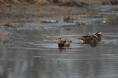 Nell'inverno, le anatre di mandarino sono nel lago Fotografia Stock