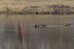 Nell'inverno, le anatre di mandarino sono nel lago Immagine Stock Libera da Diritti