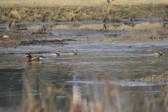 Nell'inverno, le anatre di mandarino sono nel lago Fotografie Stock