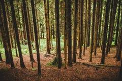 Nella foresta dell'abete nelle alpi Italia di un giorno piovoso Fotografie Stock Libere da Diritti