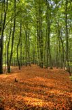 Nella foresta di Darss Fotografia Stock Libera da Diritti