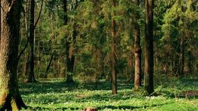 Nella foresta selvaggia hanno fiorito molti bucaneve nel primo mattino HD 1920 stock footage