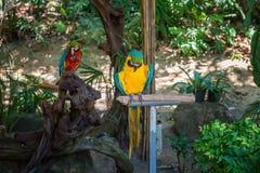 Nella foresta tropicale fra i rami dell'alimentatore per i grandi dei pappagalli colorati multi che si siedono su un palo Fotografia Stock