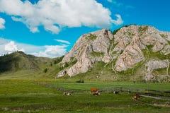 Nella priorità alta che pasce le mucche sul campo fotografie stock libere da diritti
