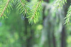 Nella priorità alta sopra i rami del pino o dell'abete rosso I precedenti sono offuscati Immagine Stock Libera da Diritti
