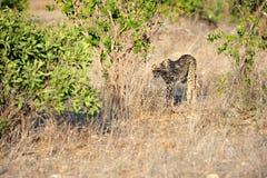 Nella savanna Fotografie Stock Libere da Diritti