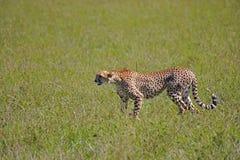 Nella savanna Fotografia Stock Libera da Diritti