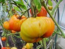 Nella serra del giardino, pomodori verdi di maturazione sul ramo di una pianta di Bush tomate nel giardino Immagini Stock