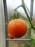 Nella serra del giardino, pomodori verdi di maturazione sul ramo di una pianta di Bush tomate nel giardino Pomodori del ragazzo d Fotografia Stock Libera da Diritti