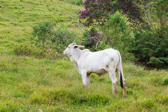 Nellore - bovini da carne brasiliani in montagne, bul bianco immagine stock