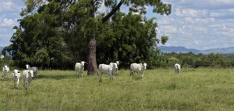 Nellore cattle steers on green pasture. With trees in background. Sao Paulo, Brazil stock image