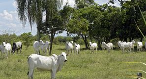 Nellore cattle steers on green pasture. With trees in background. Sao Paulo, Brazil royalty free stock image
