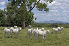 Nellore cattle steers on green pasture. With trees in background. Sao Paulo, Brazil stock photography