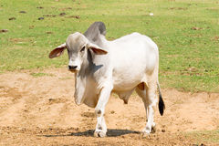 Nelore Bull Stock Photos