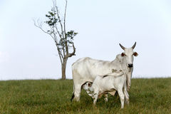 Nelore calf grazing with mother. CAMPINA DO MONTE ALEGRE, SP, BRAZIL - APRIL 16, 2016 - Nelore, bovine originating in India and race representing 85% of the Royalty Free Stock Image
