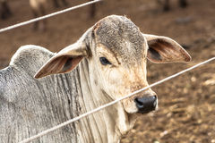 Nelore cattle Royalty Free Stock Photos