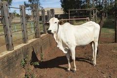 Nelore Cattle on farm. In Brazil royalty free stock photo