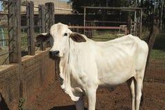 Nelore Cattle on farm. In Brazil stock photo