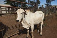 Nelore Cattle on farm. In Brazil stock image