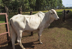 Nelore Cattle on farm. In Brazil royalty free stock photography