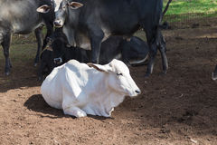 Nelore Cattle lying down. On farm in Brazil royalty free stock photos