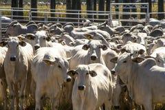 Nelore cattle Stock Photos