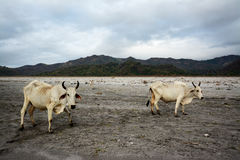 Nelore cow on Pinatubo Trek Royalty Free Stock Photography