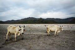 Nelore krowa na Pinatubo wędrówce Fotografia Royalty Free