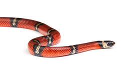 Nelsons snake Stock Photography