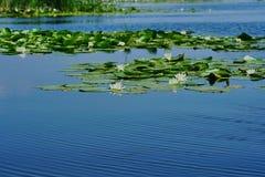 Nelumbo lutea - Lotus flowers royalty free stock photos