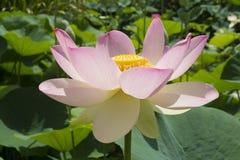 Nelumbo Nucifera, цветок священного лотоса и листья Стоковые Фото