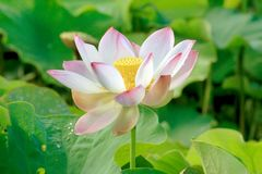 Nelumbo nucifera 006 Royalty Free Stock Images
