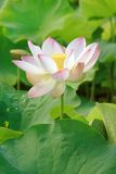 Nelumbo nucifera 008 Stock Photo