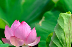 Nelumbo nucifera. The flower which basks in a solar light Royalty Free Stock Image
