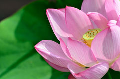 Nelumbo nucifera. Royalty Free Stock Photography