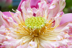 Nelumbo nucifera. Sacred lotus in close up view Royalty Free Stock Image