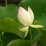 Nelumbo nucifera bud Royalty Free Stock Photo