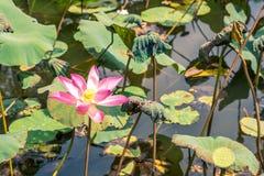 Nelumbo nucifera flower, also known as Indian lotus, sacred lotus, bean of India, Egyptian bean or simply lotus.  royalty free stock photography