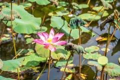 Nelumbo nucifera flower, also known as Indian lotus, sacred lotus, bean of India, Egyptian bean or simply lotus.  royalty free stock photos