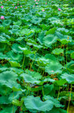 The Nelumbo nucifera flowering plants field Stock Image