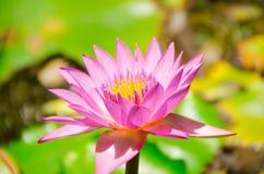 Nelumbo nucifera gaertn BUA Luang który źródła w Azja Południowo-Wschodnia, Fotografia Stock