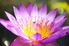 Nelumbo nucifera gaertn BUA Luang który źródła w Azja Południowo-Wschodnia, Fotografia Royalty Free