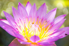 Nelumbo nucifera gaertn BUA Luang który źródła w Azja Południowo-Wschodnia, Obrazy Stock