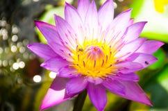 Nelumbo nucifera gaertn BUA Luang który źródła w Azja Południowo-Wschodnia, Zdjęcia Royalty Free