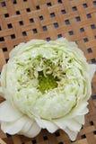 Nelumbo nucifera gaertn flower 01 (Nelumbonaceae) Stock Image