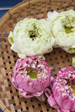 Nelumbo nucifera gaertn flower 02 (Nelumbonaceae) Royalty Free Stock Image